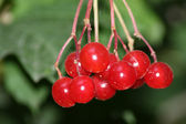 Red berrys — Stock Photo
