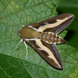 Stock Photo: Night hawk moth (Hyles gallii)