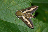 Night hawk moth (Hyles gallii) — Stock Photo