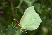 Day lemon butterfly (Gonopteryx rhamni) — Stock Photo
