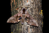 Night hawk moth (Smerinthus ocellatus) — Stock Photo