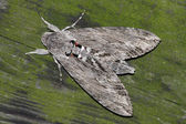 Night hawk moth (convolvuli Sphinx) — Photo