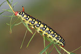 Hawkmoth caterpillar (Hyles euphorbiae) — Stock Photo