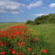 Fields and poppys — Stock Photo