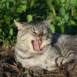 Stock Photo: Yawn cat