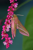 Pink hawkmoth (Deilephila elpenor) — Stock Photo