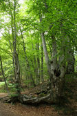 Mountain beech forest — Stock Photo