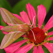 Hawkmoth (Deilephila elpenor) — Stock Photo