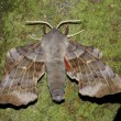 Hawkmoth (Laothoe populli) — Stock Photo