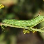 Hawk moth caterpillar (Hyles gallii) — Stock Photo