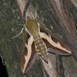Stock Photo: Hawk moth (Hyles gallii)