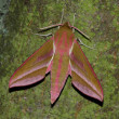 Hawk moth (Deilephila elpenor) — Stock Photo