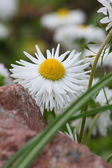 The flower ox-eye daisy — Stock Photo