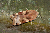 Night moth (Noctua ssp.) — Stock Photo