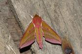 Hawkmoth (Deilephila elpenor) — Zdjęcie stockowe