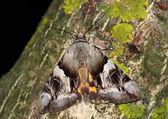Moth (Catocala ssp.) — Stock Photo