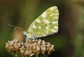 Butterfly (Pontia edusa) — Stock fotografie