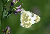 Kelebek (Pontia edusa) — Stok fotoğraf
