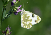 Бабочка (pontia edusa) — Стоковое фото