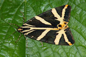 Moth (Callimorpha hera) — Stock Photo