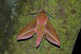 Hawk moth (Deilephila elpenor) — Stock Photo