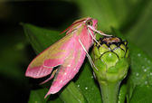 Pink hawk moth (Deilephila elpenor) — Stock Photo