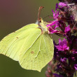 Butterfly (Gonopteryx rhamni) - Stock Photo