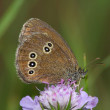 Day butterfly (Satyrus) - Stock Photo