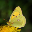 Butterfly (Colias crocea) — Stock Photo