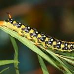 Hawk moth caterpillar (Hyles euphorbiae) — Stock Photo