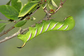 Hawk moth caterpillar (Sphinx ligustri) — Stock Photo