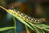 Hawk moth caterpillar (Hyles euphorbiae) — Stock Photo