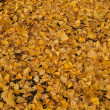 Ginkgo Carpet — Stock Photo