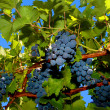 Black grapes and leaves — Foto Stock