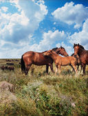 Horses in the steppe — Stock Photo