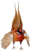 Bird pheasant — Stock Photo