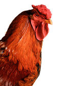 Is a red cock — Stock Photo