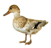 Duck Anas Crecca — Stock Photo