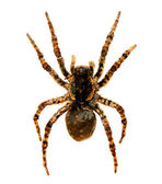 Spider a tarantula lycosa singoriensis — Stock Photo