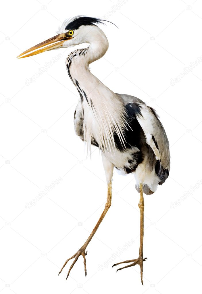 Gray heron Ardea cinerea on a white background — Stock Photo #1514255