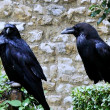 Raven of Tower from London — Stock Photo #1671381
