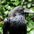 Raven of Tower from London — Stock Photo #1671469