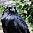 Raven of Tower from London — Stock Photo #1671534