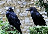 Raven of Tower from London — Stock Photo