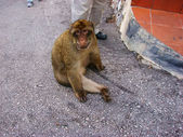 Monkey of Gibraltar — Stock Photo