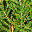 Stock Photo: Fir background