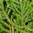 Fir background — Stockfoto