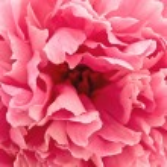 Pink peony — Stock Photo #1498877