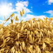Royalty-Free Stock Photo: Oats against blue cloudy sky