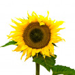 Stock Photo: Nice sunflower